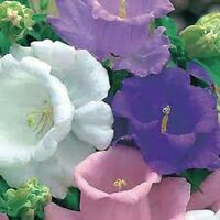 Campanula Cup & Saucer Seed Annual 5 Colors Cut Flower