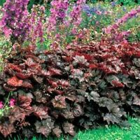 Coral Bells- Heuchera- Palace Purple- 50 Seeds- BOGO 50% off SALE