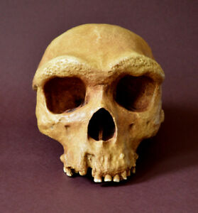 Homo Heidelbergensis Skull Replica