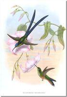 """Vintage Hummingbird Art John Gould CANVAS PRINT~ Hylonympha Macrocerca 36x24"""""""