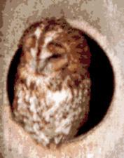 BN original cross stitch  chart of a tawny owl