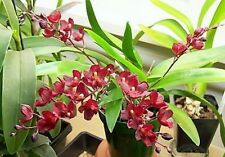 RON. Special Orchid - Lsz Lava Burst 'Puanani' AM/AOS in spike x 4 (3680)