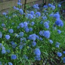 Gilia Capitata-(Queen Anne's Thimbles)- 100 Seeds- Bogo 50% off Sale