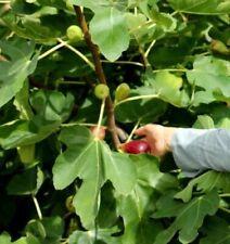 2 winterharte Feigenbäume schnellwüchsige exotische Pflanzen Obst für den Garten