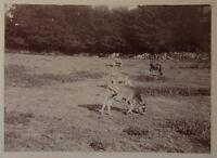 Mucche Campagna snapshot Foto Amateur Vintage Citrato c1900