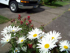 daisy, SHASTA, PERENNIAL, white flower, 1200 seeds! GroCo buy US USA
