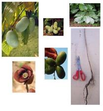 1 Paw Paw Tree, 12+in, Edible Fast Growing Fruit, or Landscape Shade - Ships Now