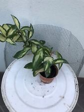 "Pianta in vasetto 6,5 cm diametro ""Hoya Carnosa""Variegata Tricolor Leggi BENE!"