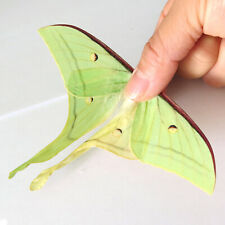 FRESH ABERRATION unmounted butterfly / moth moon silkmoth Actias selene #1