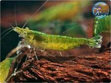20 +2 Green Jade - Freshwater Neocaridina Aquarium Shrimp. Live Guarantee