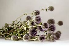 Beautiful Natural Blue/Green Preserved Dried Echinops Bundle Decorated Floral