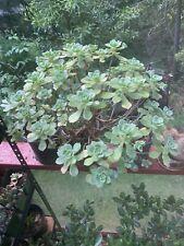 Three Aeonium Haworthii Pinwheel Plant Cuttings Aboreum Succulent