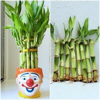 8 Stalks LUCKY BAMBOO - 4 inches long, Healthy Water Plants, Feng Shui, GIFT