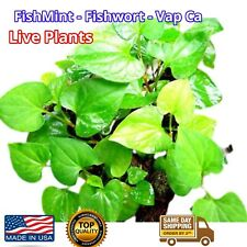 Organic Houttuynia Cordata Dokudami Fish Mint Diep Ca Rau Vap Ca 5x live plants