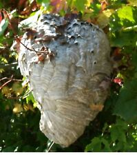 Bald Face White Hornet Nest Bee Home Wasp House Bees Hive For Science Taxidermy