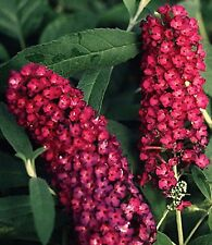 BEAUTIFUL  ROYAL RED  BUTTERFLY BUSH POTTED PLANT