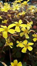 OXALIS BURGUNDY BEAUTIFUL EVERGREEN PERENNIAL WITH PURPLE/BROWN LEAVES