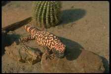 175018 Gila Monster Lizard A4 Photo Print