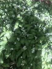 10x Wild Garlic Bulbs - Allium Ursinum Free Fast Postage From Established Plants