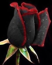 Rare Beautiful Black Rose Flower with Red Edge Seeds 25 in Pack Perennial Roses