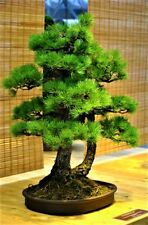 20 Pcs Japanese Pine Tree Seed Black Bonsai Seeds Beautiful Juniper Decor Home