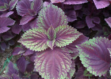 100 Seeds-Purple-Perilla-Mint -Beefsteak-plant-Chinese nankine Spice Herbal Seeds