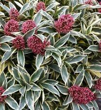 Skimmia Merlot Plant in 2litre pot