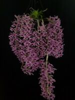 """Dendrobium Little Sweetscent """"Orchid Diva"""""""