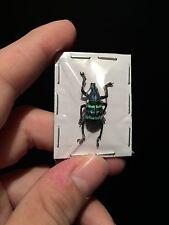 Entomologie Taxidermie Superbe Eupholus magnificus A1 de Papouasie!