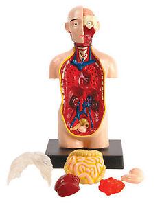 EIN-O Science - Human Anatomy model - Torso