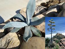 Agave Americana Blue Century Plant Pup Sprout for sale.   Grows Huge!!!!