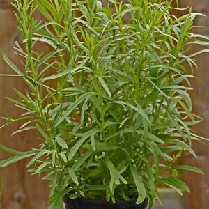 French Tarragon 'Pfefferkorn' XL Plug Plant x 2. Perennial Herb. Aniseed