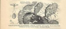 Stampa antica INSETTI Coccus cacti INSECTA 1891 Old antique print