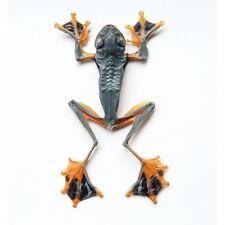 Rhacophorus Rheinwardii Präparierter Insekt Taxidermy