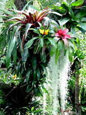 GOURGEUS BROMELIAD SEEDS, (Red-Green)  Qty. 20 Seeds