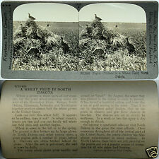 Keystone Stereoview PRAIRIE CHICKENS in Wheat Field, ND From 600/1200 Card Set