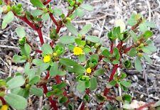 1000 semi Portulaca Oleracea Porcellana comune Purslane Verdolaga seeds