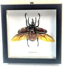 REAL 3-HORNED RHINOCEROS BEETLE, CHALCOSOMA ATLAS IN BLACK SHADOWBOX FRAME
