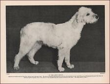 Spinone Italiano Dog, Best Of Breed At Westminster, Vintage Print 1935