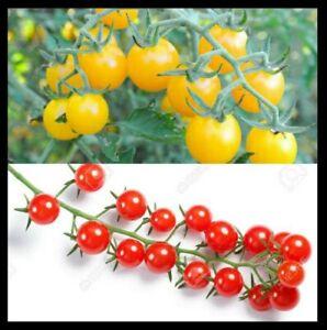 Wild Tomato Combo Galapagos + Currant Tomato (S. cheesmaniae & pimpinellifolium)