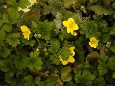 50 Stck. Waldsteinia ternata, Jungpflanzen, Bodendeckerpflanze, winterhart