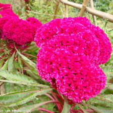 1 Pack 400 Giant Cockscomb Seeds Celosia Cristata Garden Flowers