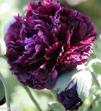 Semi di Papavero-Papaver Somniferum-Peonia Nera profumo fiori dal mondo