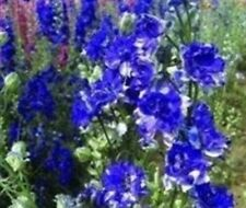 LARKSPUR BLUE & WHITE BI -  COLOUR 100  SEEDS  ANNUAL