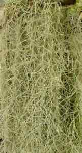 Live Spanish Moss for Craft Projects and Flower Arranging Arrangements 2 lbs FS
