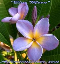 "NEW PLUMERIA RUBRA FRANGIPANI "" BLUE MOON  "" 100 SEEDS FRESH  FREE SHIPPING"