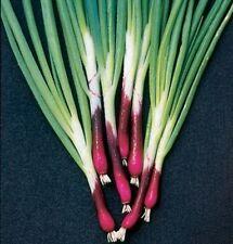 Allium Kräutersamen