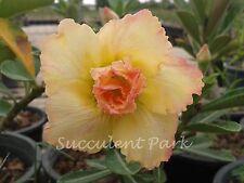 "Rosy Adenium Obesum (Desert Rose) ""Thong-yod"" grafted plant"