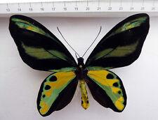 Ornithoptera tithonus tithonus freak?strange colour!!, Onin Peni.Indonesien O4/3