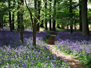 Bluebell Woods Country CANVAS WALL ART DECO LARGE READY TO HANG all sizes
